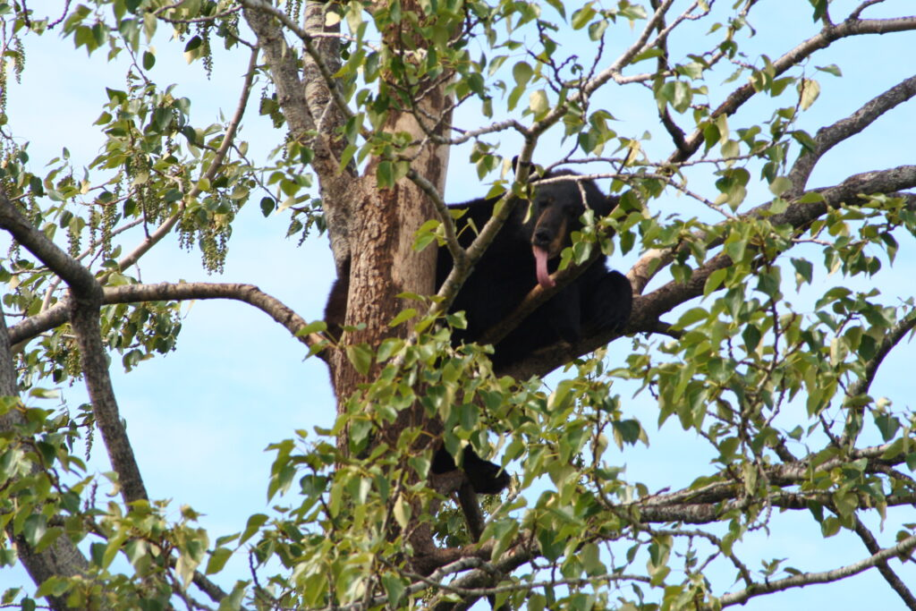 Black bear in a tree, Alaska