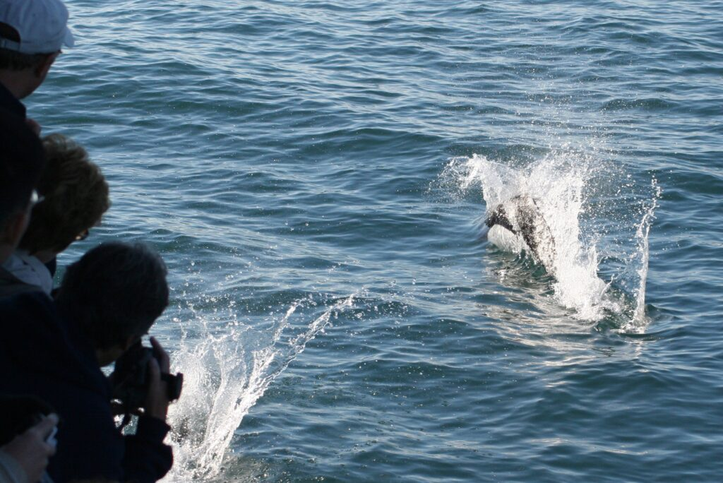 Dall's porpoise playing on the bow wave of our Alaska wildlife cruise in Seward, Alaska