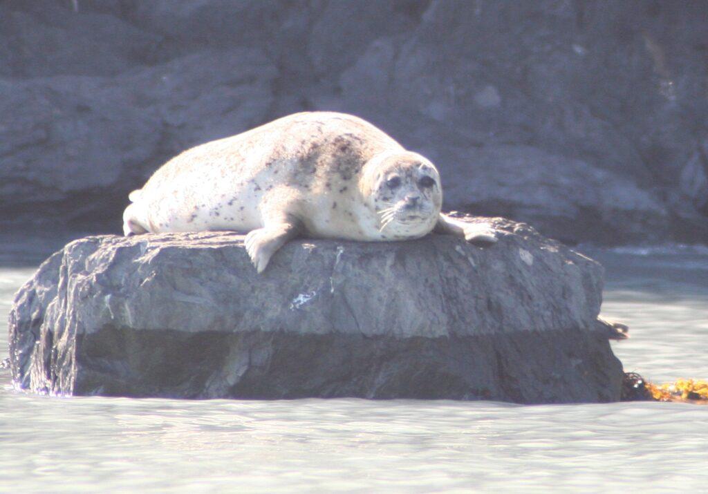 Harbor seal sunning in Alaska