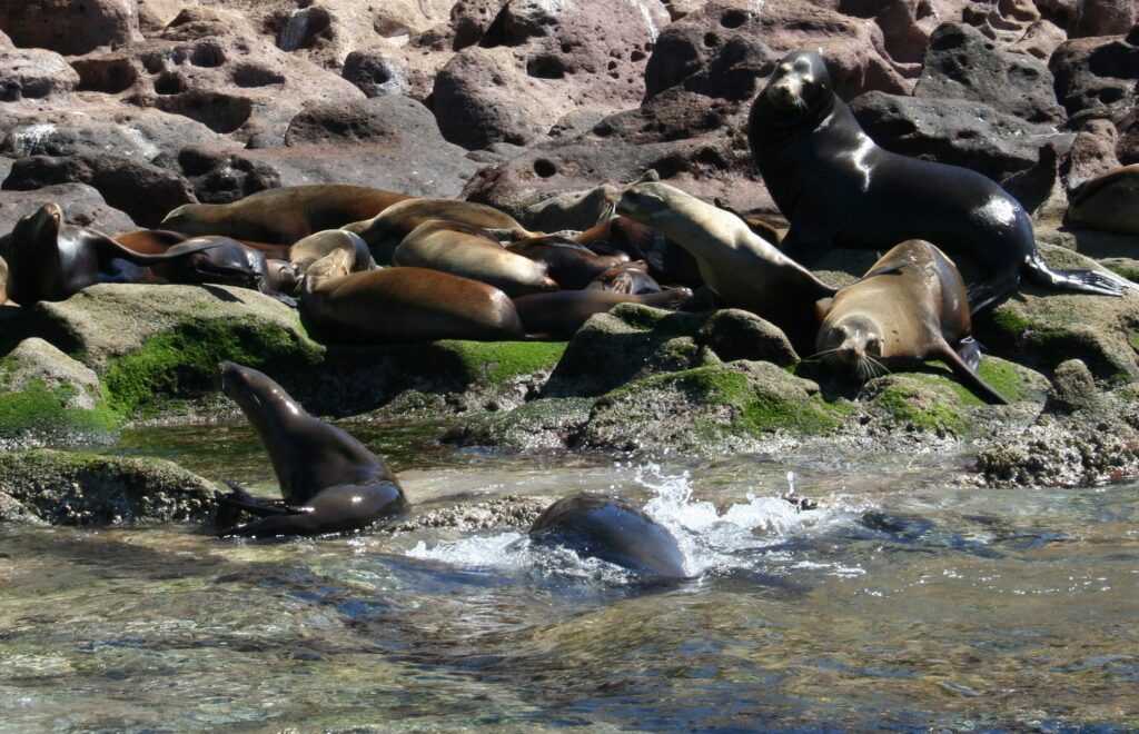 Sea Lions, Mexico