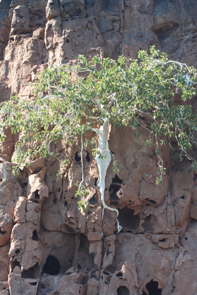 Medusa tree, Isla Espiritu, Mexico