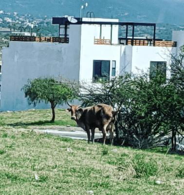 Cow in neighborhood