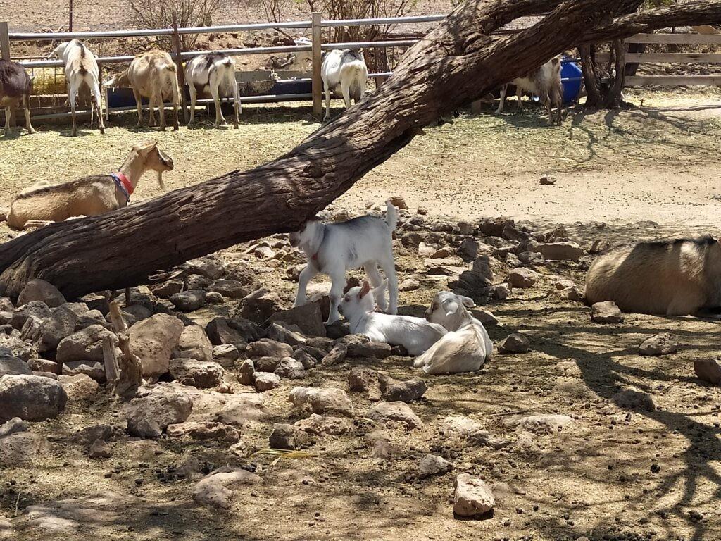 Goats on a farm in Queretaro, Mexico