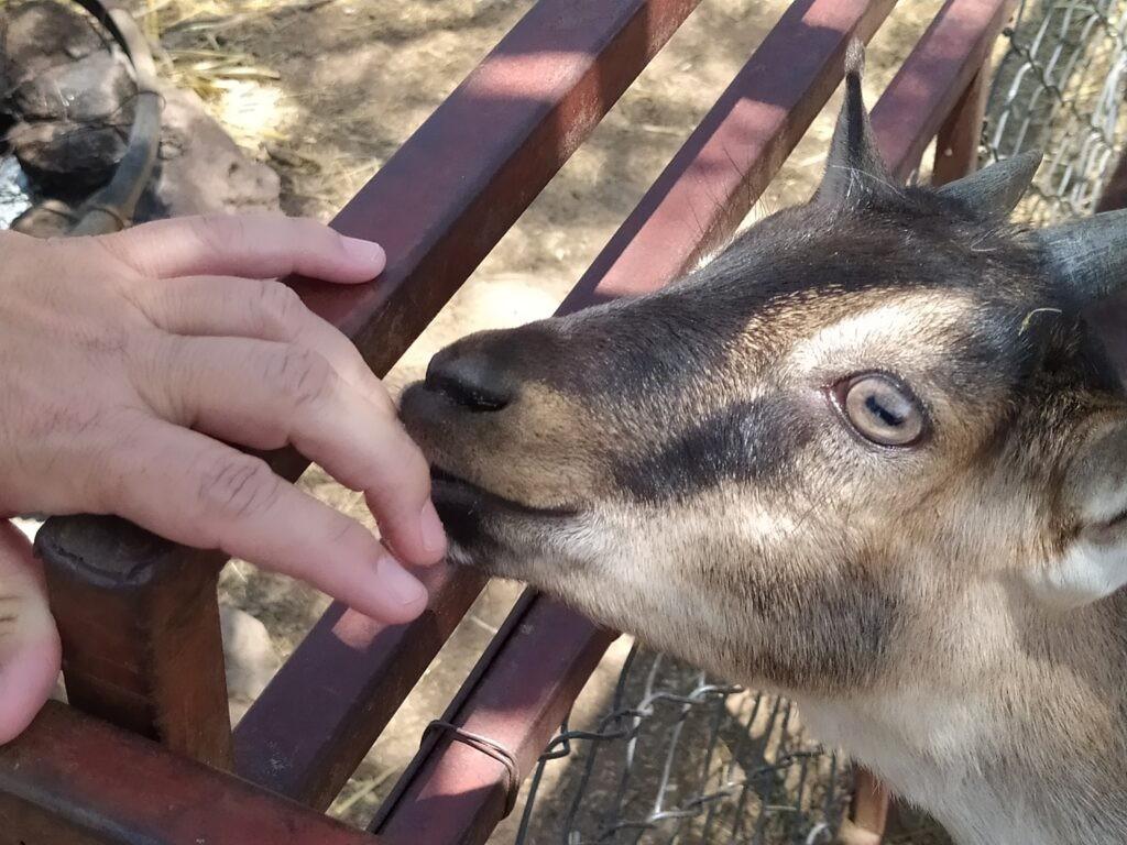 Friendly goat at a goat milk cheese farm